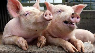 african swine flu virus