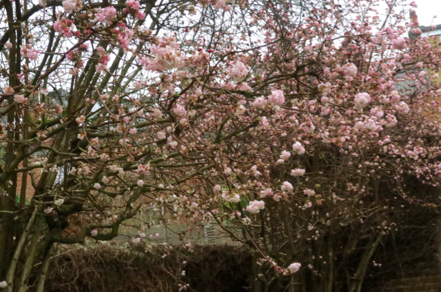 Pink flowering Viburnum shrubs in winter
