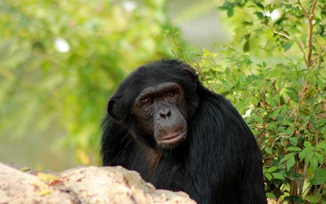 Visit the Jane Goodall chimpanzees in Gombe National Park