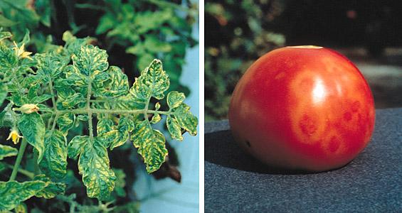 Tanaman Tomat Yang Terserang Virus Asal Usil