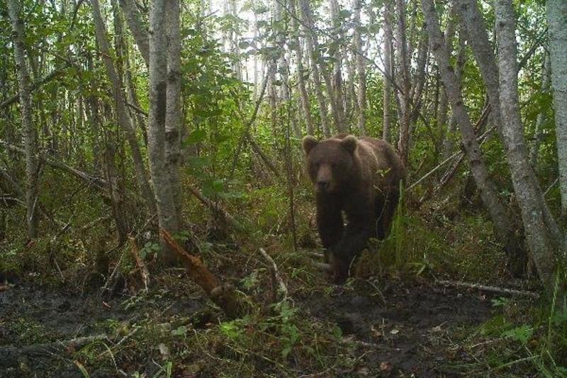 A-Sprinting-Bear