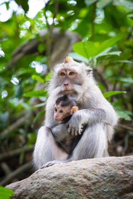 Scimmie alla Monkey forest di Ubud-Bali
