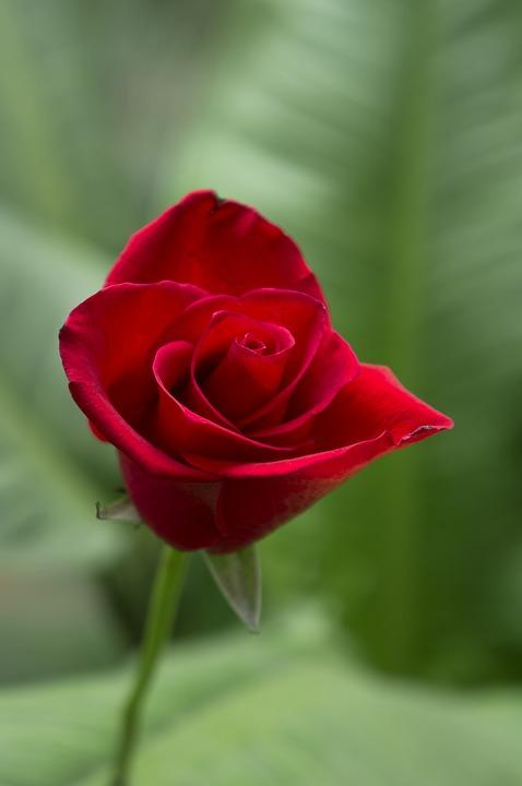 Galeri Kumpulan Gambar Bunga Mawar Merah Cantik dan Indah
