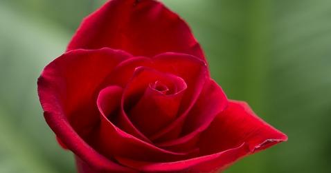 Download 77 Koleksi Gambar Bunga Mawar Indah Dan Cantik Gratis
