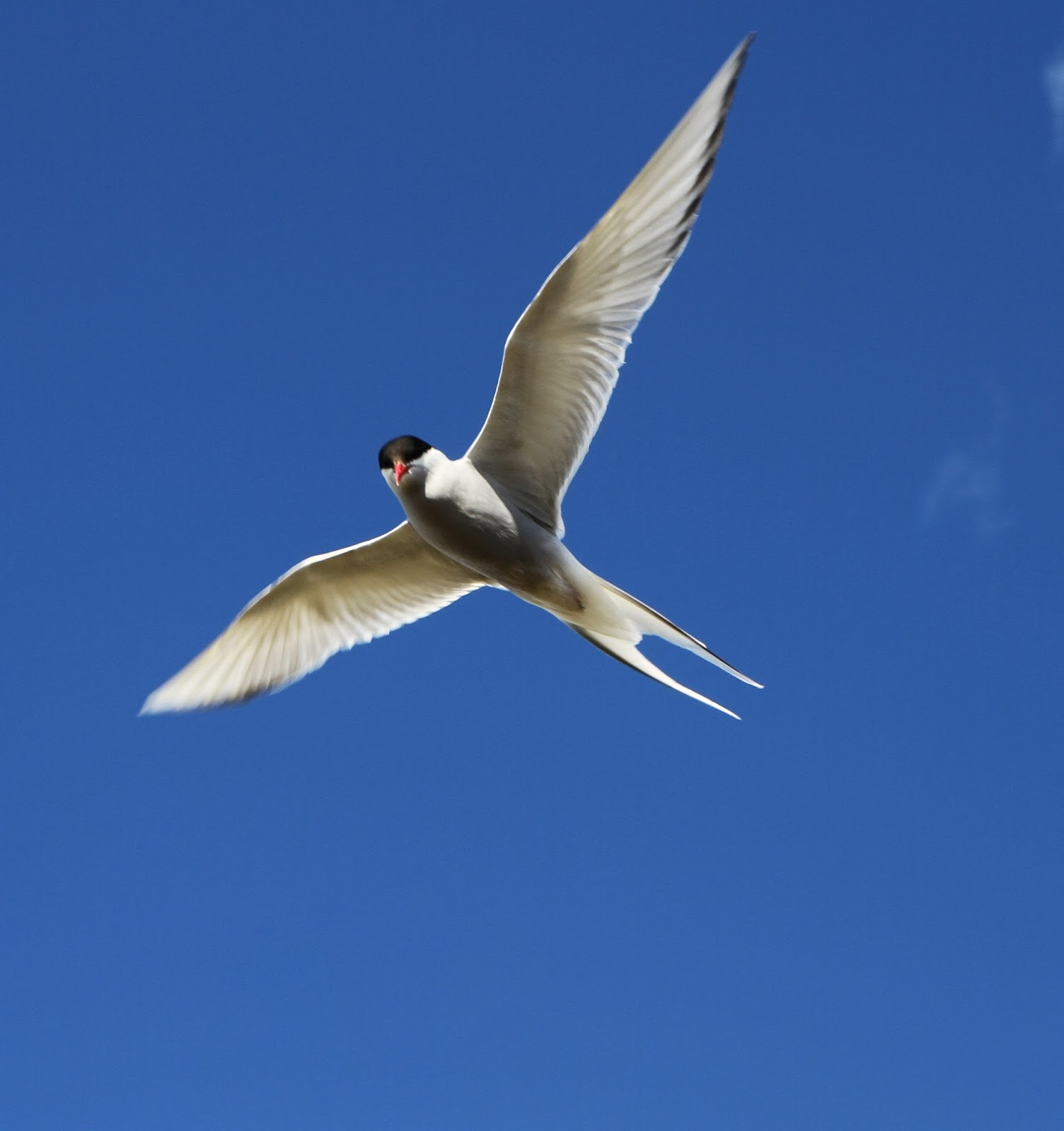 Picture of arctic tern in flight.