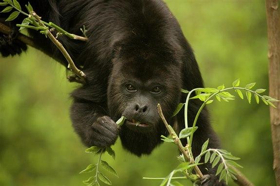 Uluyan Maymun – U hayvan isimleri