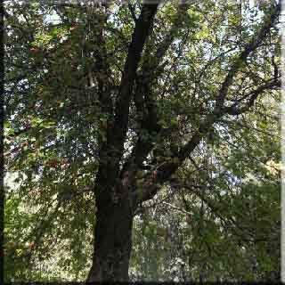kayın ağacı bitki akdeniz ağaçlar Japon Kayını (Fagus crenata) Çin Kayını  (Fagus engleriana) Amerikan Kayını   (Fagus grandifolia) Tayvan Kayını  (Fagus hayatae) Mavi Japon Kayını  (Fagus japonica) Güney Çin Kayını  (Fagus longipetiolata) Parıltılı Kayın (Fagus lucida) Meksika Kayını  (Fagus mexicana)