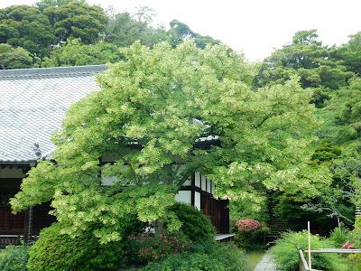 浄光明寺の菩提樹