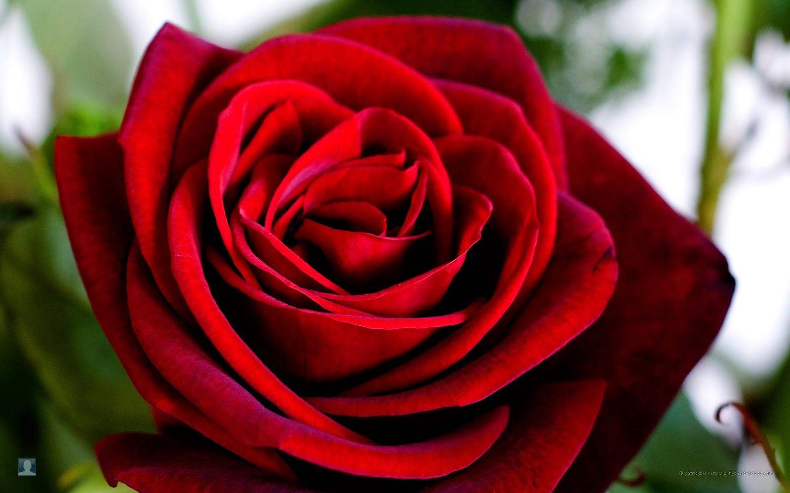 17 beautiful red rose - photo #32