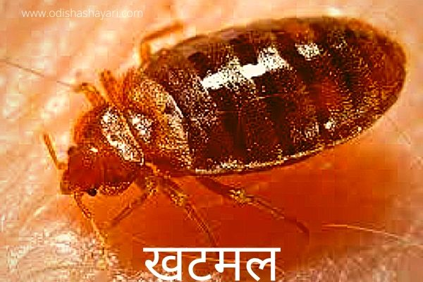 Bedbugs in Hindi