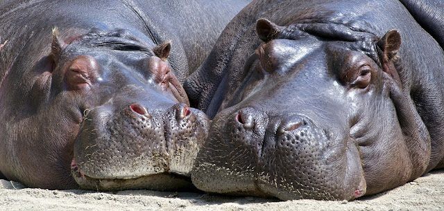 Black Hippopotamus Laying on Ground during Daytime Closeup HD Wallpaper