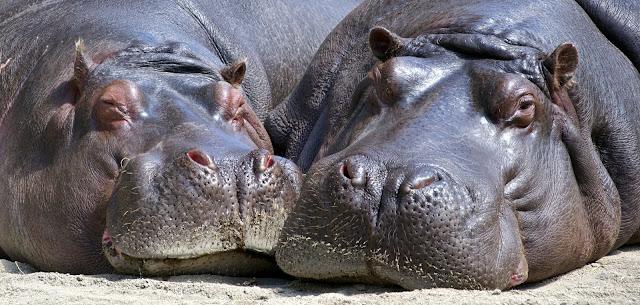 Black Hippopotamus Laying on Ground during Daytime Closeup HD Wallpaper