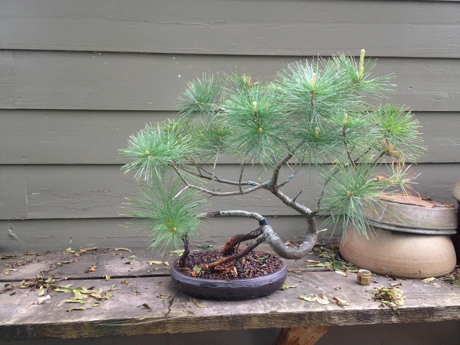 Bonsai Tree 17 Modern Eastern White Pine Bonsai Pictures