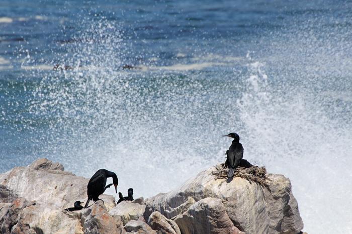Kormorane am Stony Point, Südafrika