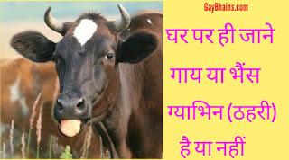 घर पर ही जाने गाय या भैंस ग्याभिन (ठहरी) है या नहीं