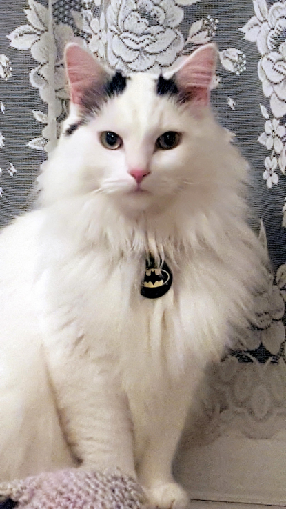 white and black cat wearing a batman collar