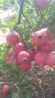 गुजरात देश के अग्रणी अनार उत्पादकों में से एक है आप भी कृषि में इस तकनीक को अपनाकर अमीर बन सकते हैं।