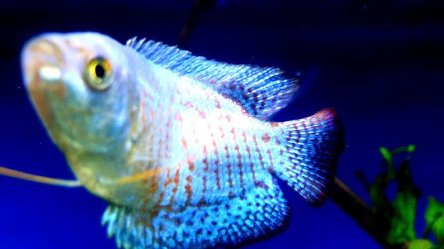 Dwarf Gourami Fish Care Guide And Breeding