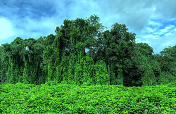 Invasion of mighty kudzu