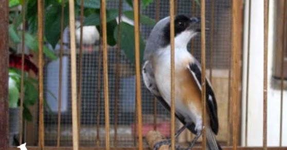 Cara Merawat Pentet Agar Cepat Jinak Cara Menjinakkan Burung Pentet Hobi Si Petani