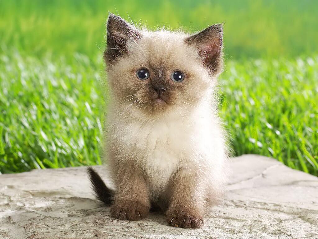 Cara Jaga Kucing Siam