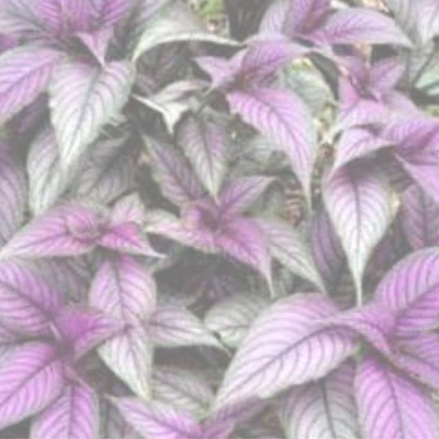 tanaman hias jenis daun