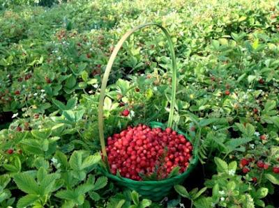 Αρωματική φράουλα Κερκύρας