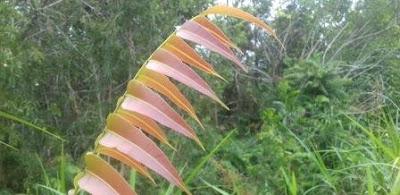 Kelakai (Stenochlena palustris) merupakan salah satu tumbuhan jenis pakis atau paku-pakuan yang berbentuk perdu, daunnya tumbuh bersusun di kiri kanan sirip/batang. Fe pada kelakai sangat tinggi sehingga berpotensi untuk mencegaha anemia pada remaja wanita dan ibu hamil (Fahruni et al., 2018). Secara spesifik, tumbuhan kelakai mempunyai manfaat untuk mengobati anemia yang banyak digunakan oleh suku dayak yang masih belum diteleti tetapi sudah memberikan banyak bukit manfaatnya secara empiris (etnobatoni).