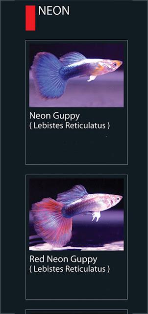13. Neon Guppy  Nama latin Lebistes Reticulatus 14. Red Neon Guppy Nama latin Lebistes Reticulatus
