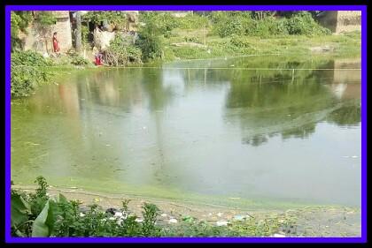 green algal bloom,water pollution,algae,green pond,pond