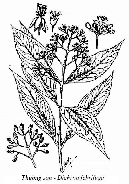 Hình vẽ Thường Sơn - Dichroa febrifuga - Nguyên liệu làm thuốc Chữa Cảm Sốt