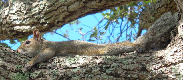 Squirrel becoming one with the tree limb