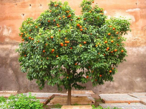 A mature, standard orange tree in full fruit against an ancient pink mud wall
