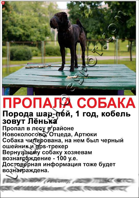 Шарпей Лёнька с тем самым трекером SPT-100 от Velcom на ошейнике