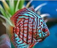 Sejarah Ikan Hias Discus ikan aquarium