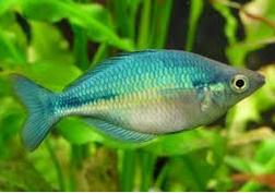 Ikan Hias Air Tawar Terindah Rainbow Lacustris