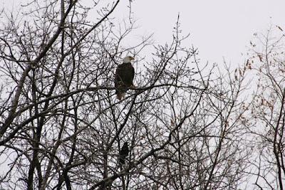 eagle perched above crow near new St. Croix bridge