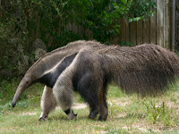 Anteater Animal Pictures