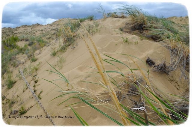 колосняк-волоснец-кияк-песчаный-камыш