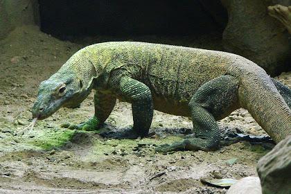 Sejarah Dan Keunikan Komodo Di Pulau Rinca