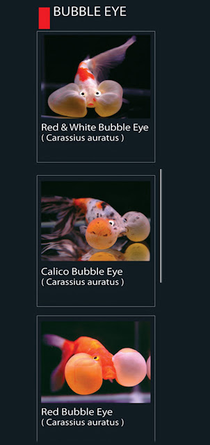 I. Jenis Ikan Hias Koki Bubble Eye   26. Red White Bubble Eye Nama Latin Carassius Auratus   27. Calico Bubble Eye  Nama Latin Carassius Auratus   28. Red Bubble Eye Nama Latin Carassius Auratus