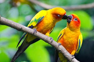 Peluang usaha budiday burung kenari