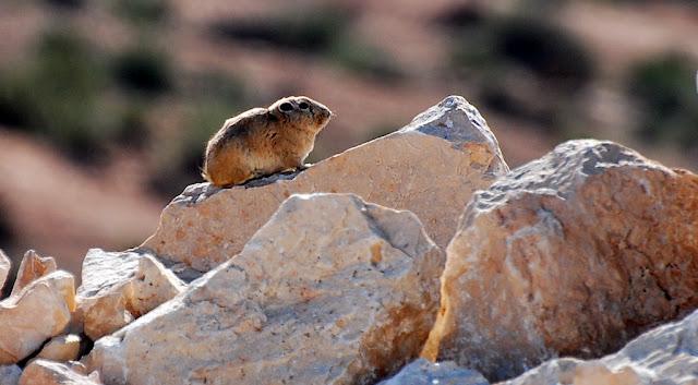 Ctenodactylus gundi