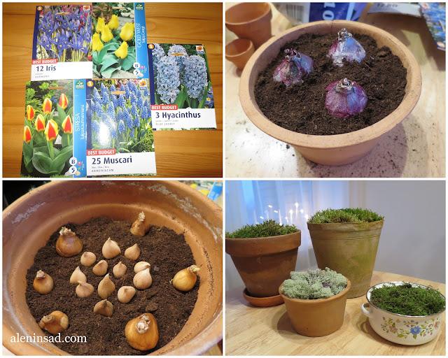 многоярусная посадка в горшки на выгонку, выгонка тюльпанов, выгонка гиацинтов, мускари, нарциссов, подснежников, аленин сад