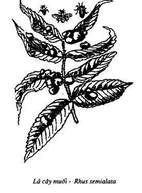 Lá cây muối - Rhus semialata - Ngũ Bội Tử - Galla sinensis - Nguyên liệu làm thuốc Chữa Đi Lỏng-Đau Bụng