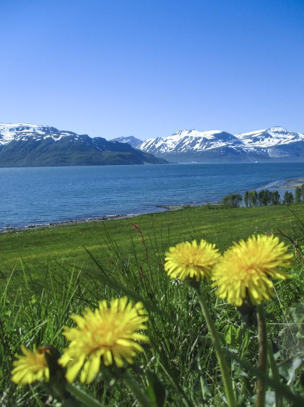 Voikukat vuonon rannalla Pohjois-Norjassa