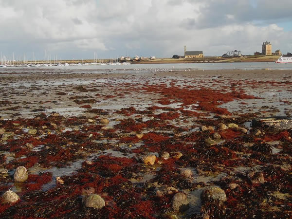 Red algae on the beach