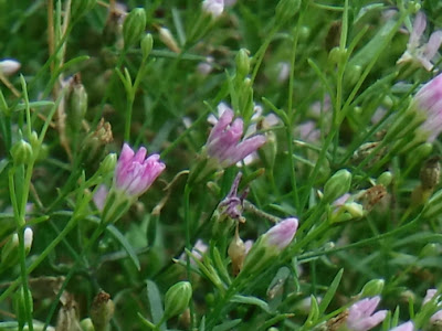 淡いピンクのヌカイトナデシコ