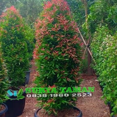 Jual pohon pucuk merah | SuryaTaman