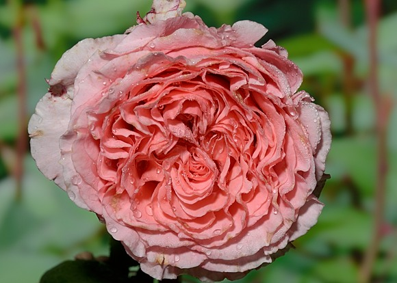 Anne Sophie Pic rose сорт розы фото